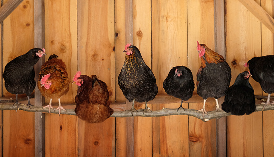 Chickens in coop roosting